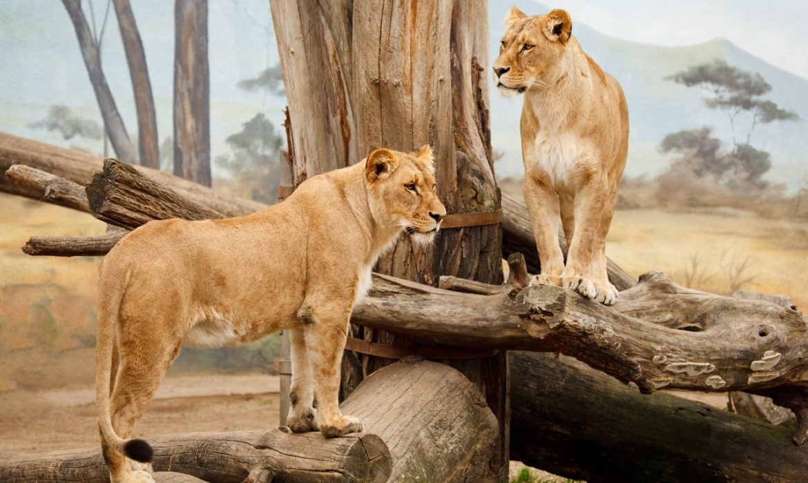 WALKING WITH LIONS – The Best Attraction In Mauritius