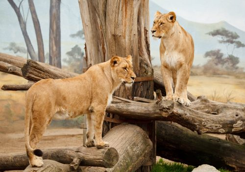 Walking With Lions - Two Lion On Tree